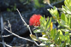 Some colour, the Pohutukawa flower