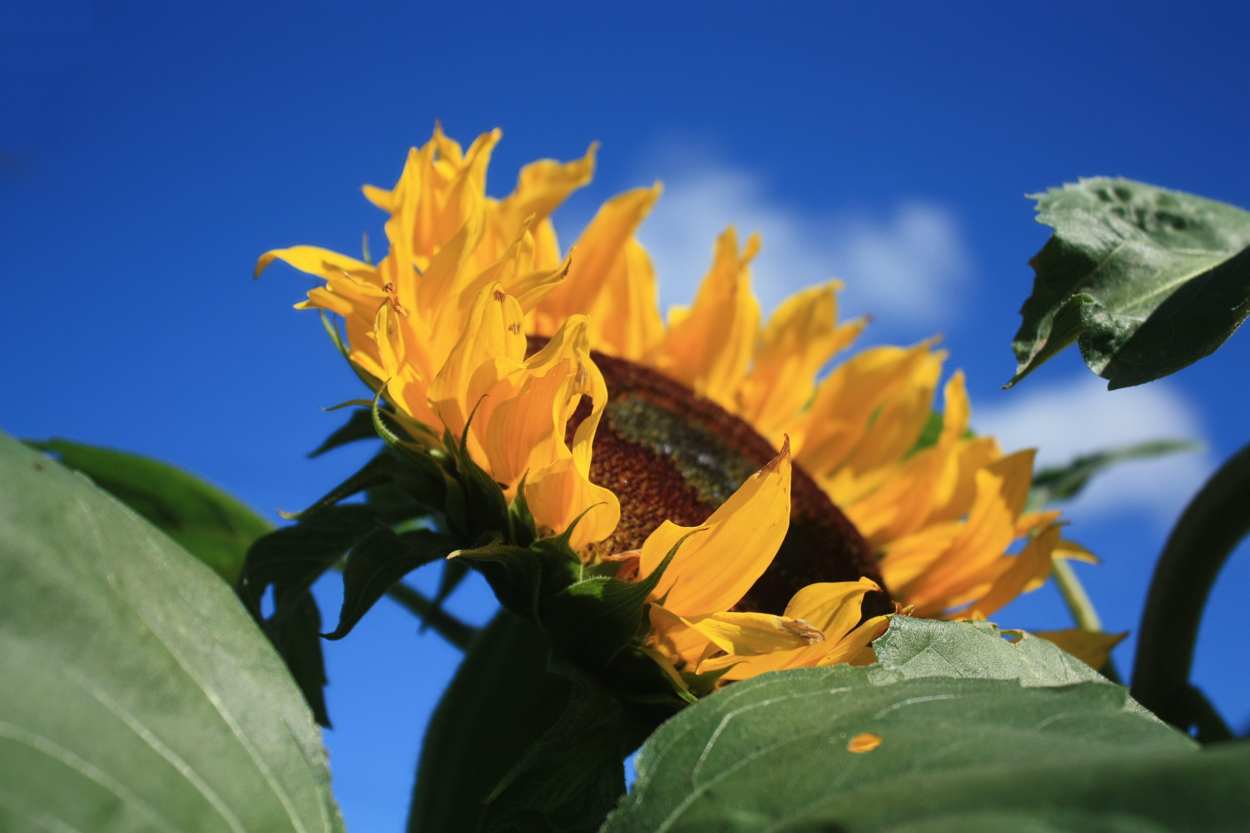 sunflower auntie stress