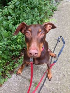 Holly, the Doberman Pinscher, on the patio.