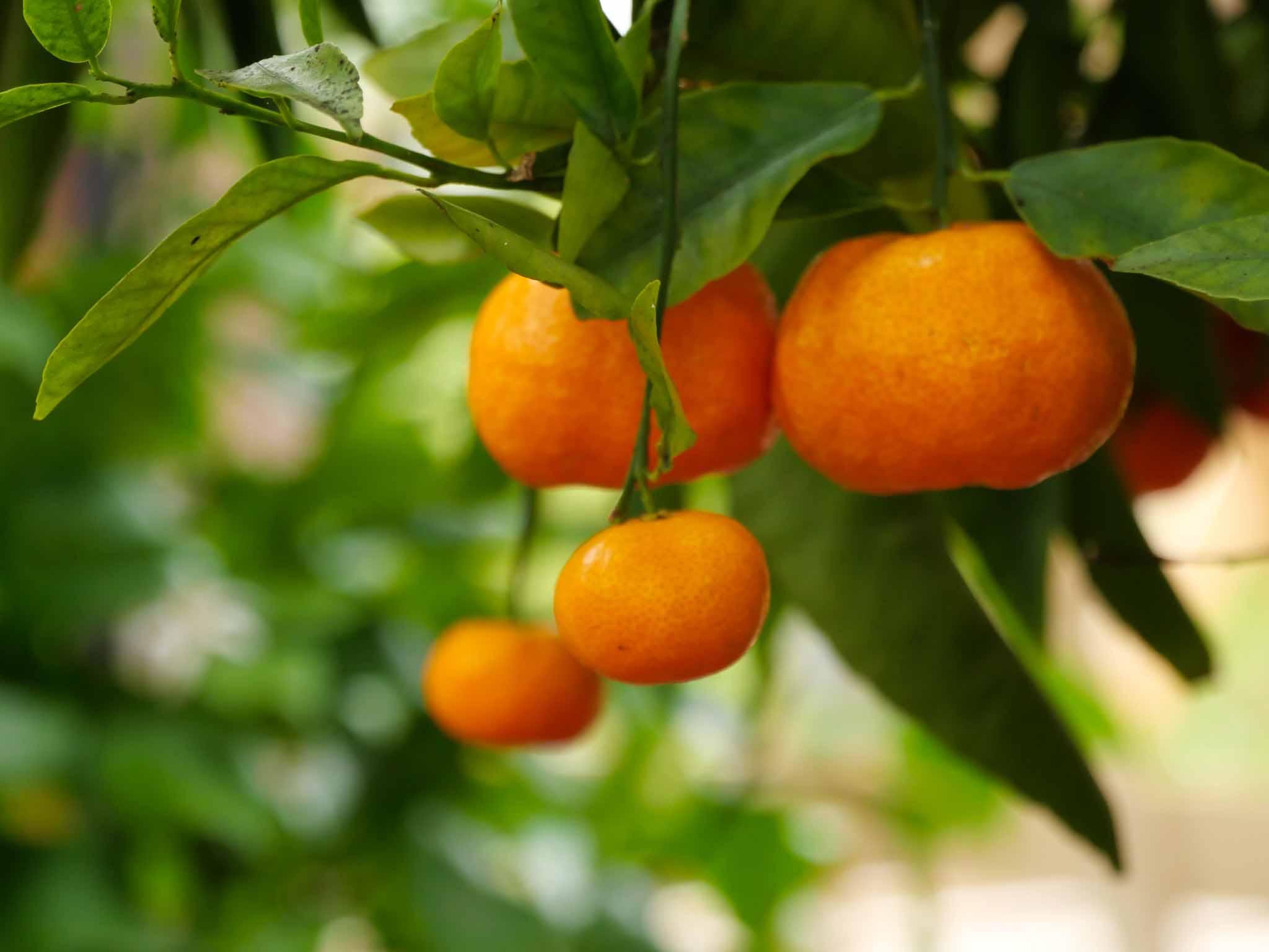 Plant agrume Morlaix