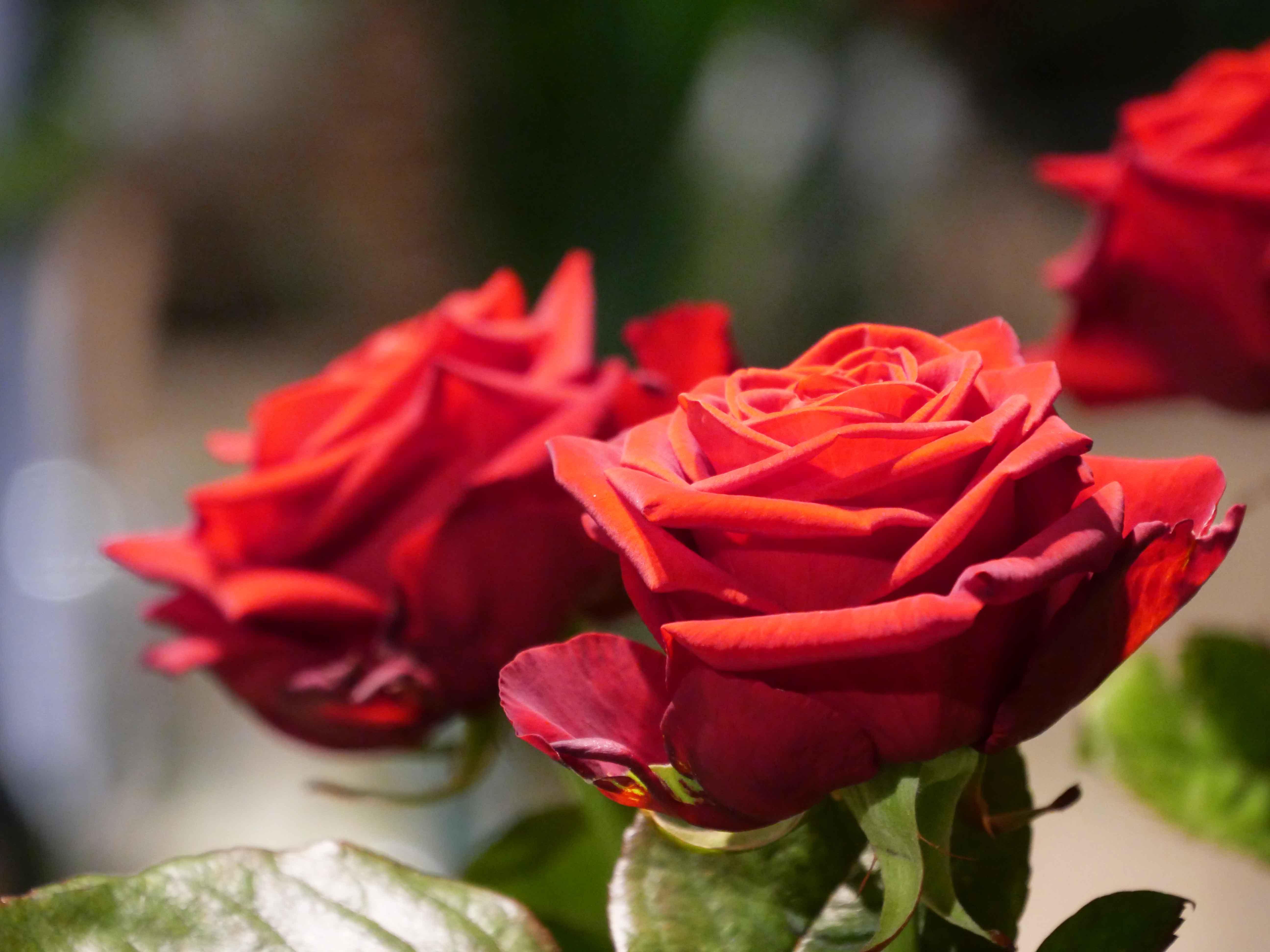 Roses rouges à offrir