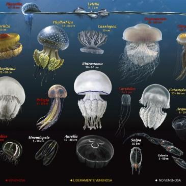 medusas peligrosas del mediterraneo
