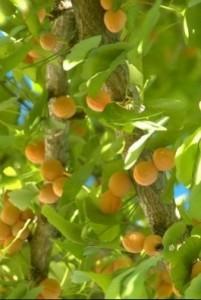 fruits gingko biloba
