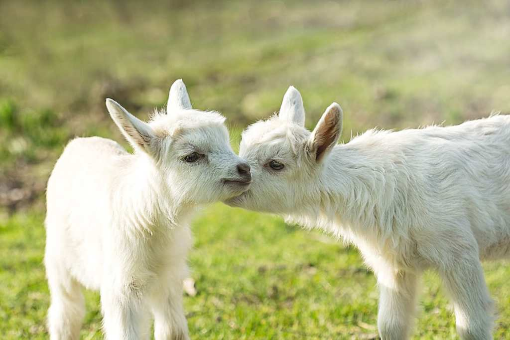 goats for leadership communication