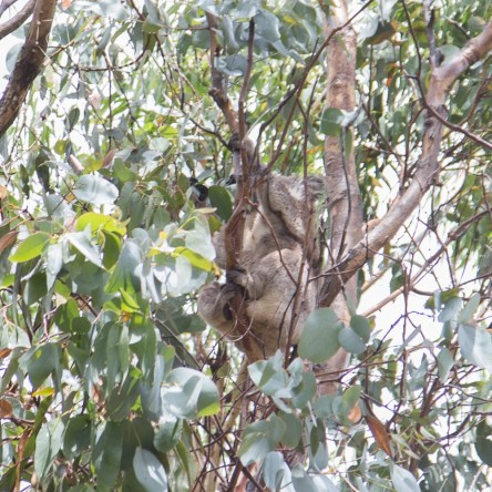 koala_conservation_centre_5