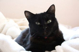 adopter-un-chat-bilan-6-mois-apres-malibu-chat-noir-plaid-adopter-spa Auriginalité