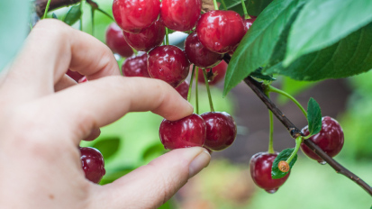 a hand picking sour cherry from tree