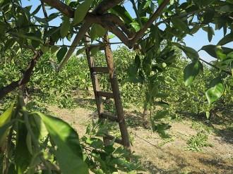 In der Orangenplantage