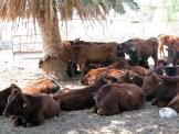 Rinder auf der Suche nach Schatten