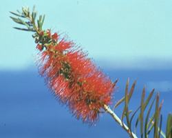 AFI010: Bottlebrush