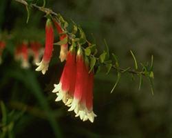 AFI011: Bush Fuchsia