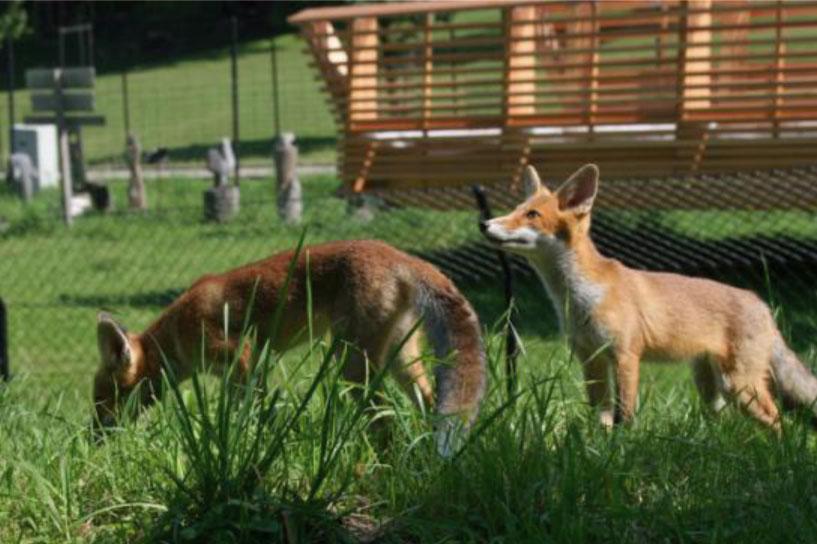 Wildnispark Zürich, Langenberg - junge Füchse im Forschungsgehege
