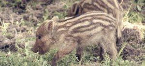 Junge Wildschweinferkel