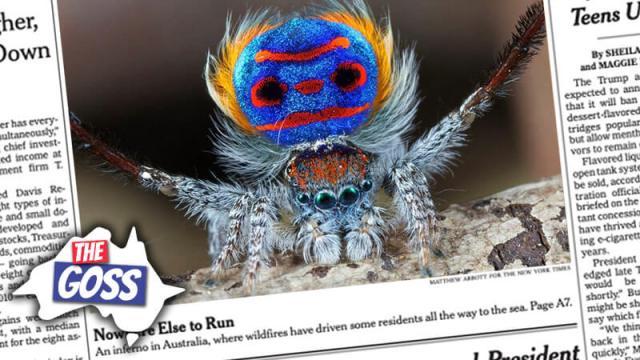 peacock spiders australia, aussie english, the goss