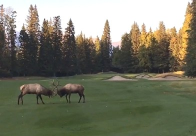 VIDEO / Duelling elks battle it out on a golf course in Canada