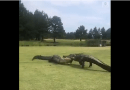 Alligators caught fighting on South Carolina golf course