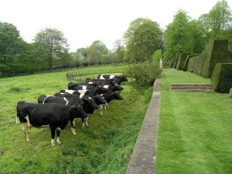 Stymied cows!