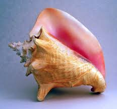conch shell - wiki commons
