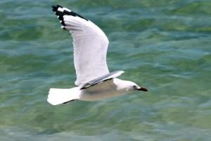 seagull small