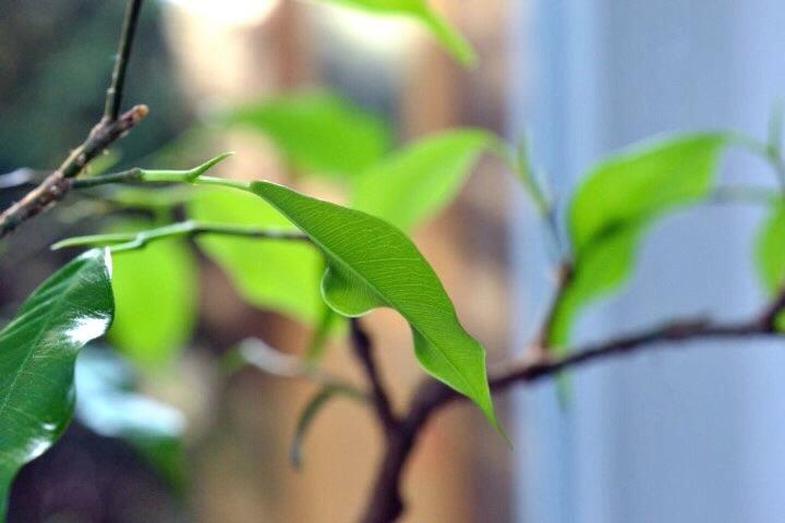 Ficus der zarte Austrieb