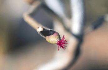 Blüte Korkenzieherhasel