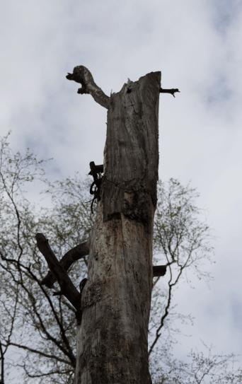 2015-04-18_Die_ganz_alte_Kiefer