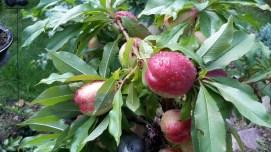 Detailansicht der Fruchtstandes