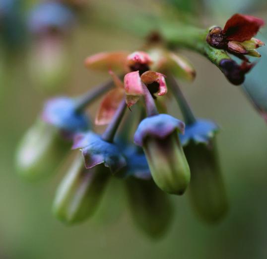 Blüte der Blaubeere