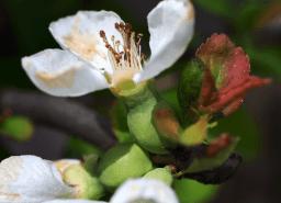 Quitte in der Fruchtentwicklung
