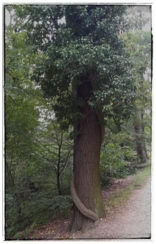 """Efeu """"krallt"""" sich Baum"""
