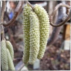 Blüten Korkenzieherhasel