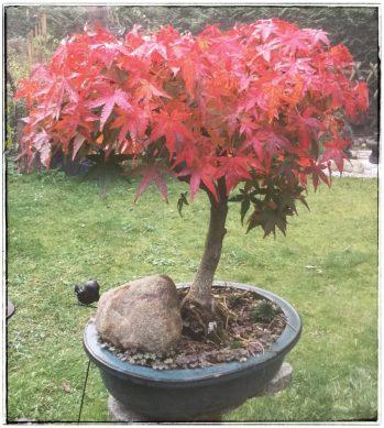Ahorn (Herbstfärbung)