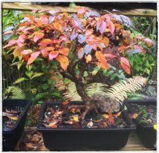 Zierkirsche (Herbstfärbung)