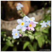 blühende Gartenpflanze