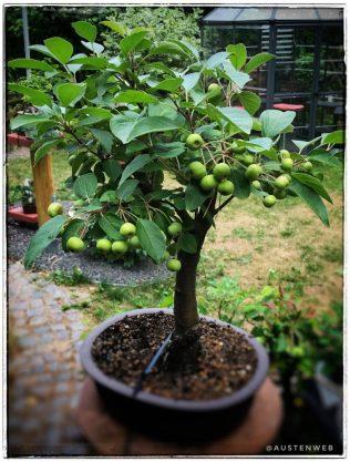 Zierapfel (fruchttragend)