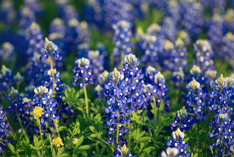Austin Com Bluebonnet Wildflower Austin Texas Flower Spring Selfie