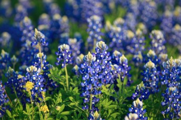 bluebonnet wildflower flower spring bloom texas lupine