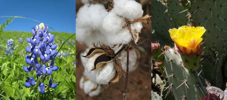 bluebonnet cotton prickly pear cactus state flower election race texas 1901