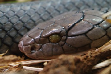 A King Cobra at the San Diego Zoo. Photo: Wikimedia Commons.