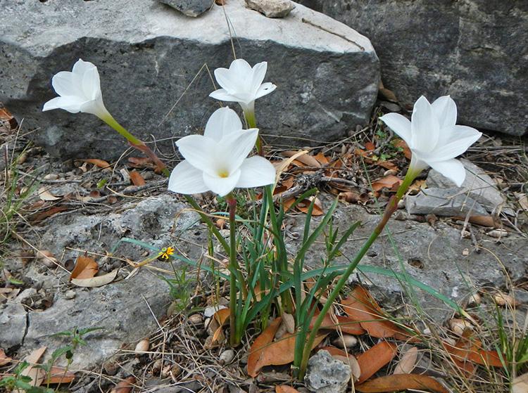 rain lily hill country prairie surprise