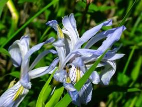 Wildly Iris by Jann Alexander © 2014