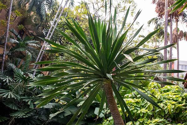 A giant spiky bush at the Jim Thompson House