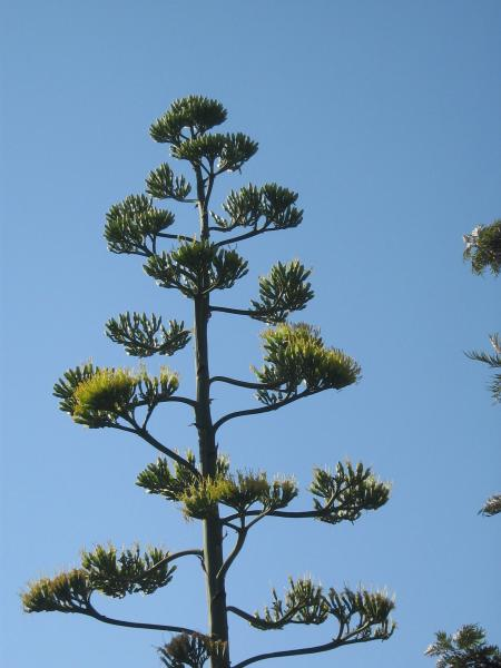 Agave americana_century_plant_best_texas_plants_for_waterwise_landscaping_proof_drought_resistant