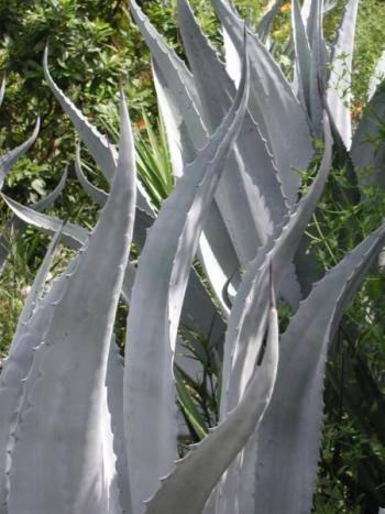 Agave americana_century_plant_water_low_austin_landscaping_native_texas