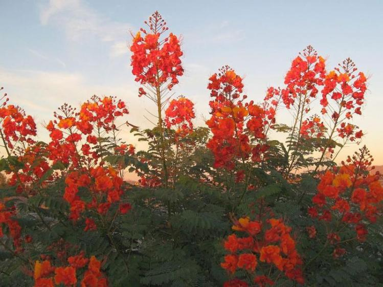Caesalpinia pulcherrima_Pride_Of_Barbados_native_plant_texas_austin_drought_tolerant_deer_proof