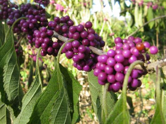 Callicarpa americana_american_beautyberry_best_plant_for_shade_gardens_texas_austin