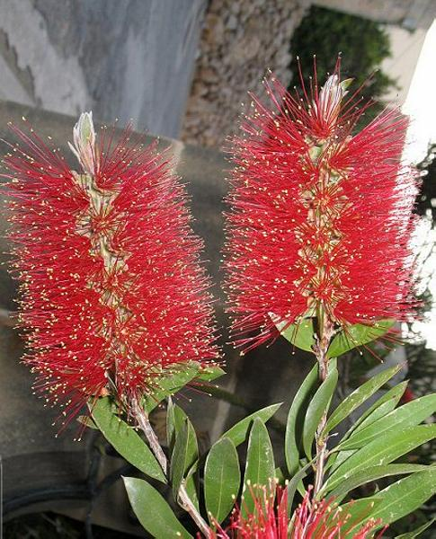 Callistemon_Citrinus_Bottlebrush_Tree_Shrub_Texas_Xeriscaping_Austin_Landscaping_Best