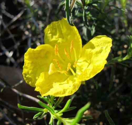 Calylophus Berlandieri_Texas_Primrose_Drought_Tolerant_Waterwise_Native