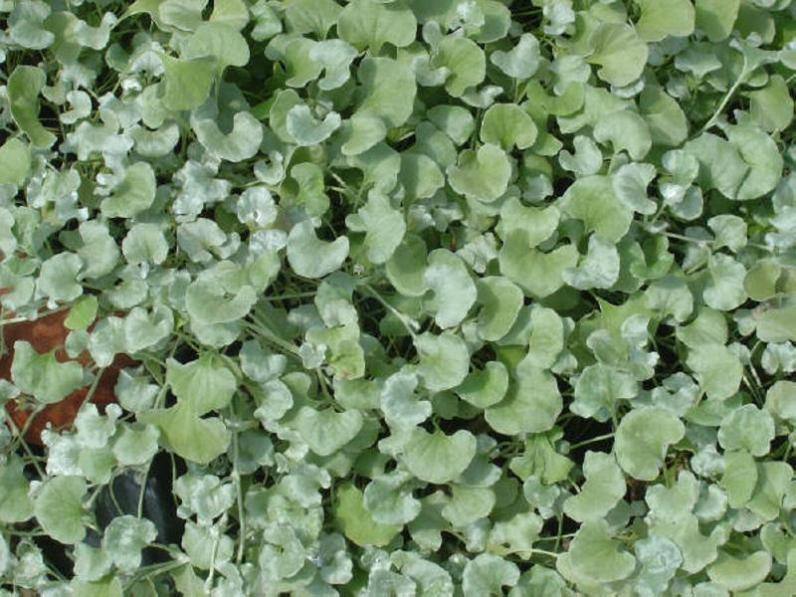 Dichondra argentea_silver_ponyfoot_xeriscape_groundgover_plants_texas