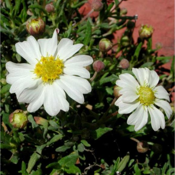 Melampodium Leucanthum_Black_Foot_Daisy_low_water_landscaping_plant_for_austin